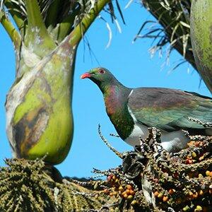 Kereru / NZ wood pigeon