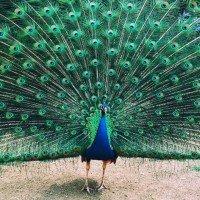 Ritual display – peacock