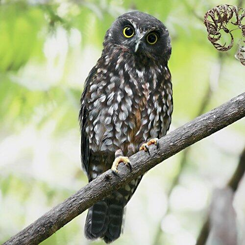 Morepork – Pursue Wisdom